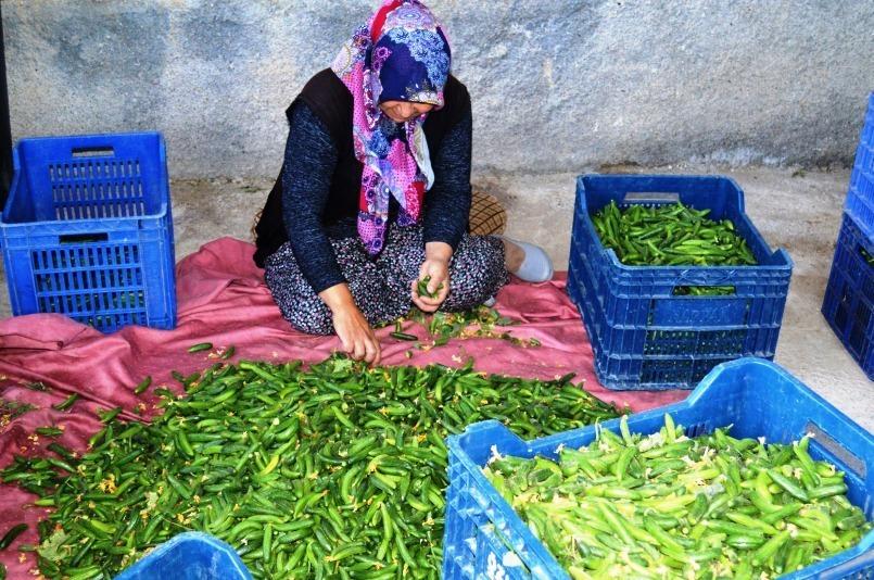 Yeşil çubuk turşusu için salatalık hasat başladı
